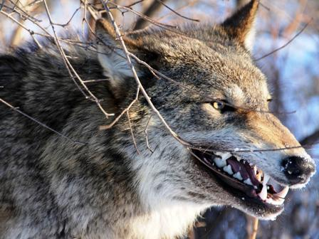 angry_wolf-1392941