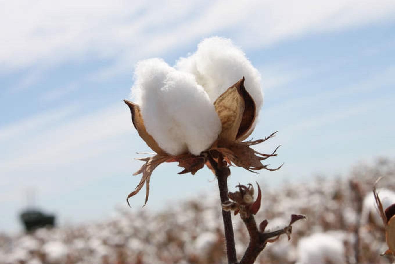 cotton culin plan ahead - 1024×683